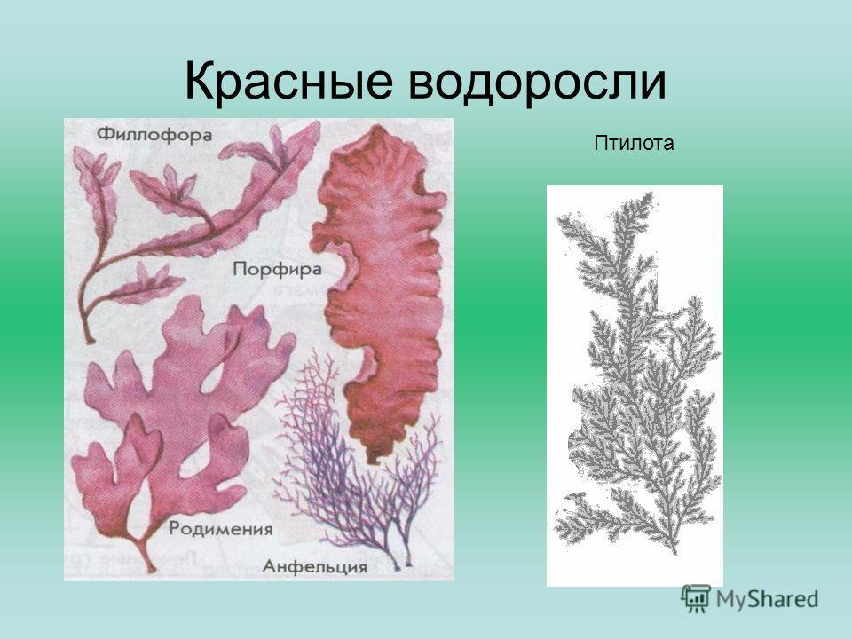 Красные водоросли Птилота