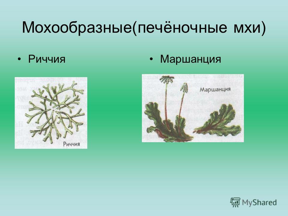 Мохообразные(печёночные мхи) РиччияМаршанция
