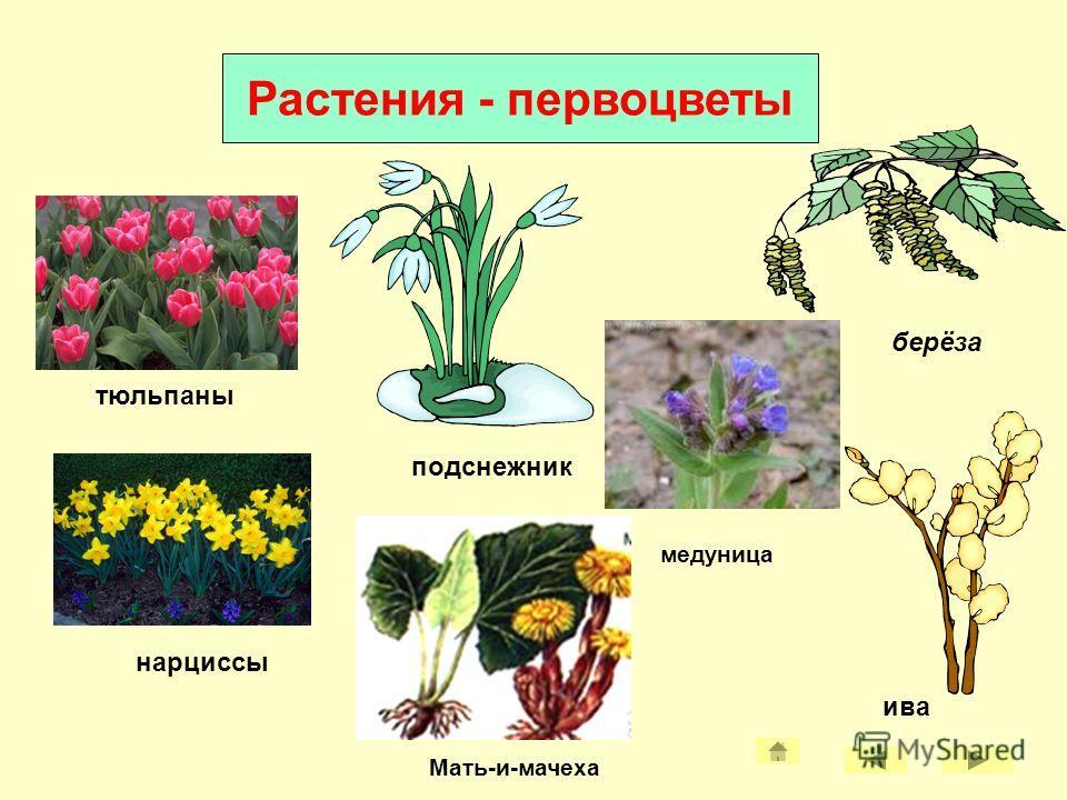 Весенние изменения в жизни растений Сокодвижение Набухание почек Цветение раннецветущих растений Распускание листьев