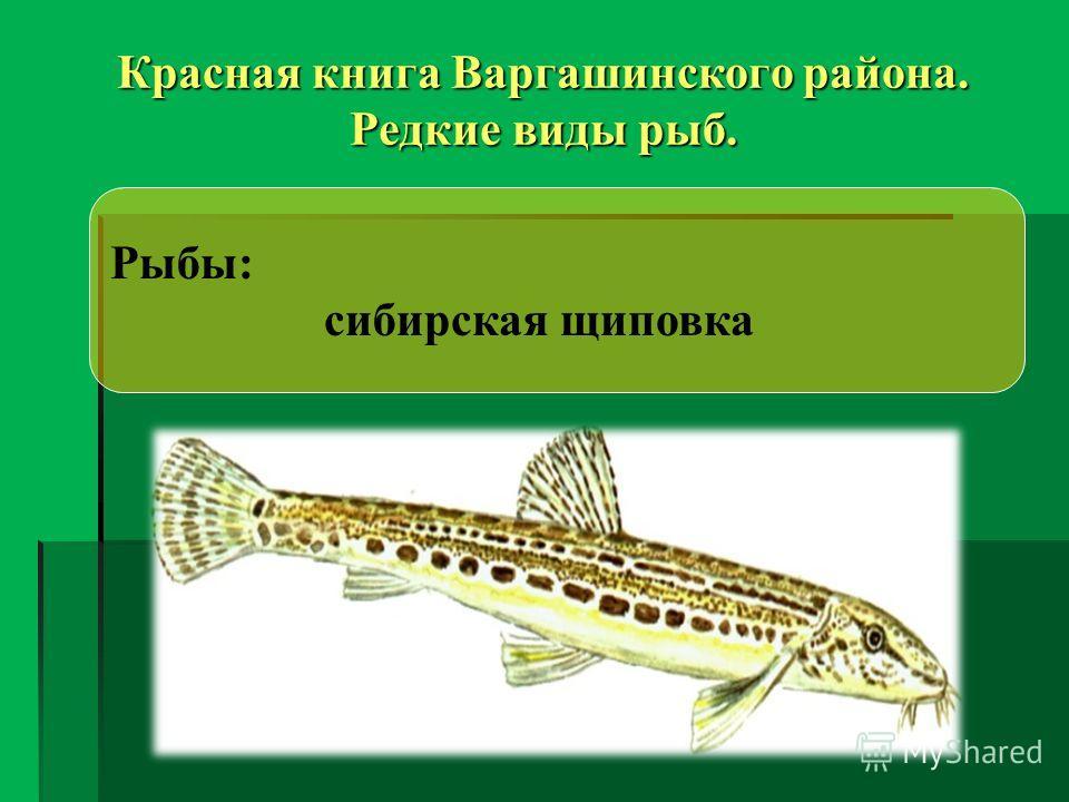 Красная книга Варгашинского района. Редкие виды рыб. Рыбы: сибирская щиповка