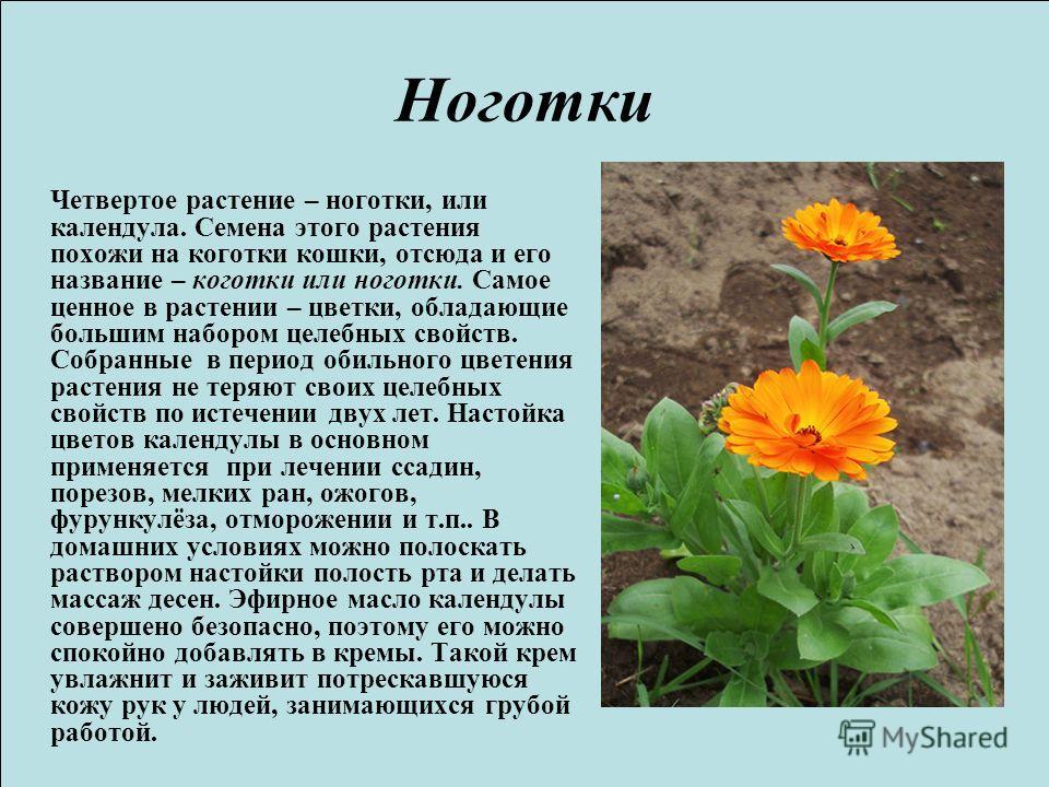 Ноготки Четвертое растение – ноготки, или календула. Семена этого растения похожи на коготки кошки, отсюда и его название – коготки или ноготки. Самое ценное в растении – цветки, обладающие большим набором целебных свойств. Собранные в период обильно