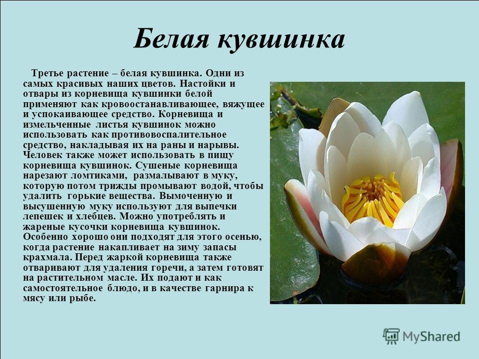 Белая кувшинка Третье растение – белая кувшинка. Одни из самых красивых наших цветов. Настойки и отвары из корневища кувшинки белой применяют как кровоостанавливающее, вяжущее и успокаивающее средство. Корневища и измельченные листья кувшинок можно и