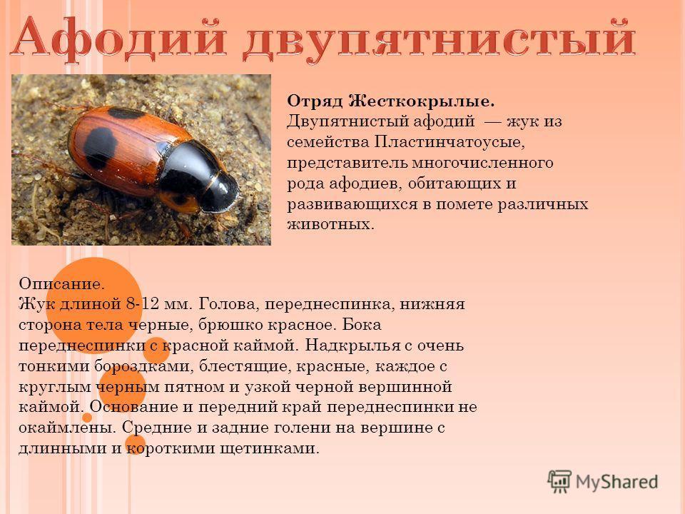 Отряд Жесткокрылые. Двупятнистый афодий жук из семейства Пластинчатоусые, представитель многочисленного рода афодиев, обитающих и развивающихся в помете различных животных. Описание. Жук длиной 8-12 мм. Голова, переднеспинка, нижняя сторона тела черн