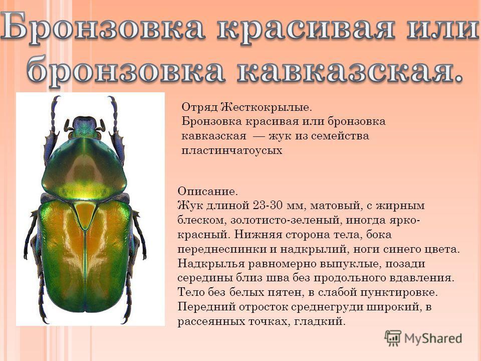 Отряд Жесткокрылые. Бронзовка красивая или бронзовка кавказская жук из семейства пластинчатоусых Описание. Жук длиной 23-30 мм, матовый, с жирным блеском, золотисто-зеленый, иногда ярко- красный. Нижняя сторона тела, бока переднеспинки и надкрылий, н