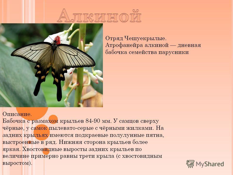 Отряд Чешуекрылые. Атрофанейра алкиной дневная бабочка семейства парусники Описание. Бабочка с размахом крыльев 84-90 мм. У самцов сверху чёрные, у самок пылевато-серые с чёрными жилками. На задних крыльях имеются подкраевые полулунные пятна, выстрое