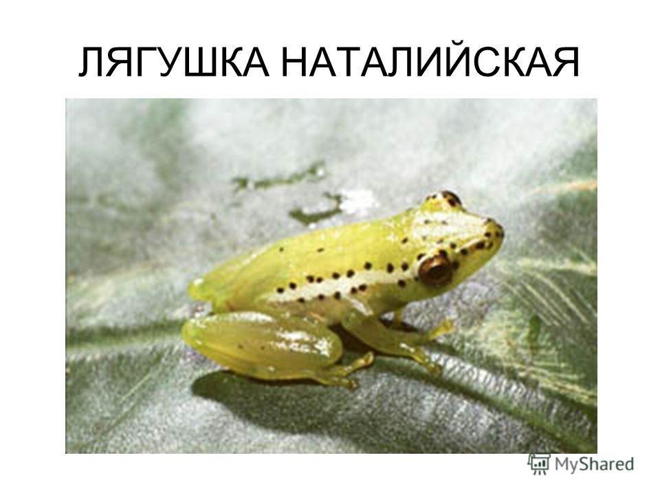 ЛЯГУШКА НАТАЛИЙСКАЯ