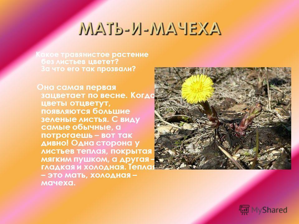 Какое травянистое растение без листьев цветет? За что его так прозвали? Она самая первая зацветает по весне. Когда цветы отцветут, появляются большие зеленые листья. С виду самые обычные, а потрогаешь – вот так дивно! Одна сторона у листьев теплая, п