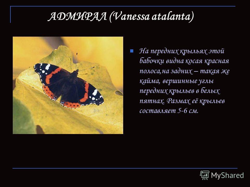 АДМИРАЛ (Vanessa atalanta) На передних крыльях этой бабочки видна косая красная полоса,на задних – такая же кайма, вершинные углы передних крыльев в белых пятнах. Размах её крыльев составляет 5-6 см.