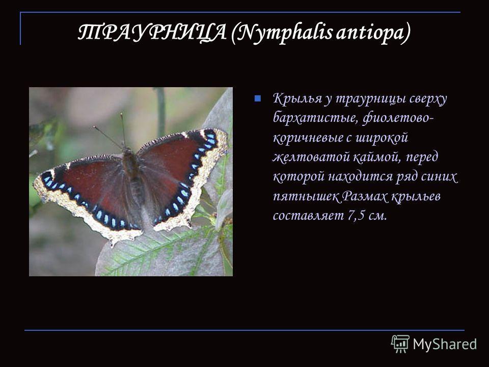 ТРАУРНИЦА (Nymphalis antiopa) Крылья у траурницы сверху бархатистые, фиолетово- коричневые с широкой желтоватой каймой, перед которой находится ряд синих пятнышек Размах крыльев составляет 7,5 см.