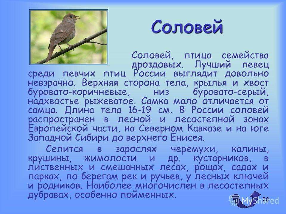 19 Утка Водоплавающая птица с перепончатыми лапами, относящаяся к семейству утиных (Anatidae), которое включает также гусей и лебедей. Утки отличаются от них сравнительно небольшими размерами, короткими ногами и шеей, несколько уплощенным туловищем и