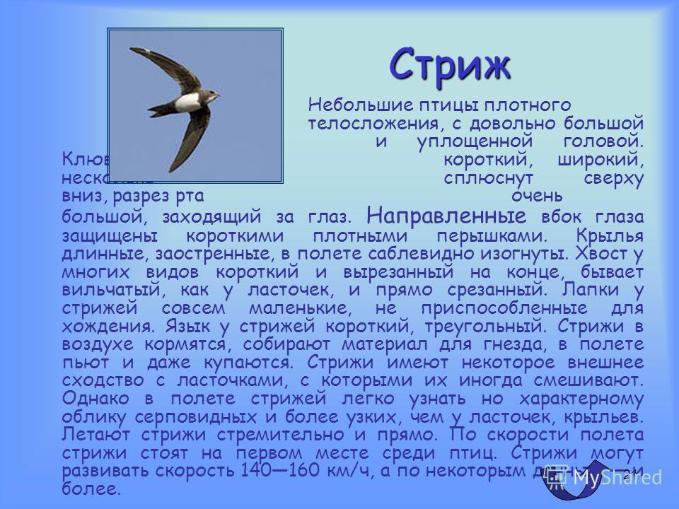 20 Соловей Соловей, птица семейства дроздовых. Лучший певец среди певчих птиц России выглядит довольно невзрачно. Верхняя сторона тела, крылья и хвост буровато-коричневые, низ буровато-серый, надхвостье рыжеватое. Самка мало отличается от самца. Длин