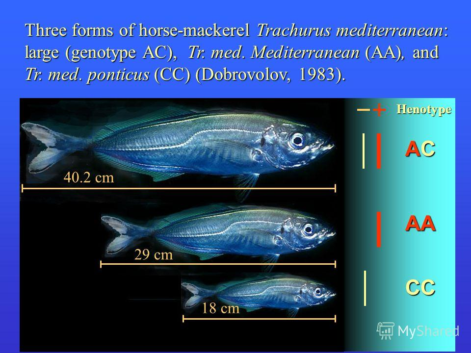 Three forms of horse-mackerel Trachurus mediterranean: large (genotype AC), Tr. med. Mediterranean (AA), and Tr. med. ponticus (CC) (Dobrovolov, 1983). Henotype ACACACAC AA CC 18 cm 29 cm 40.2 cm