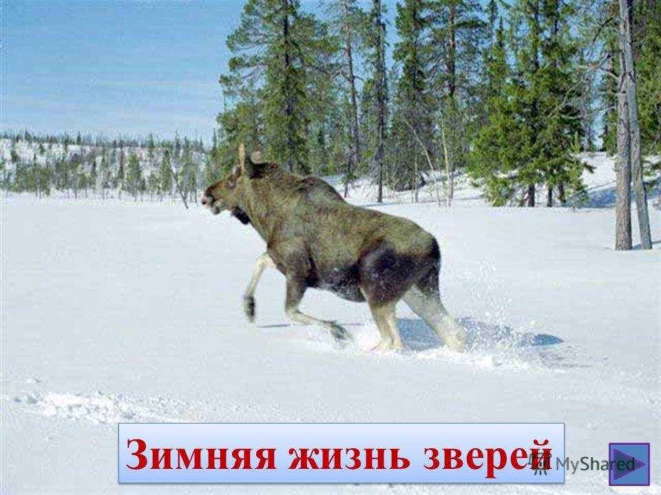 Зимняя жизнь зверей