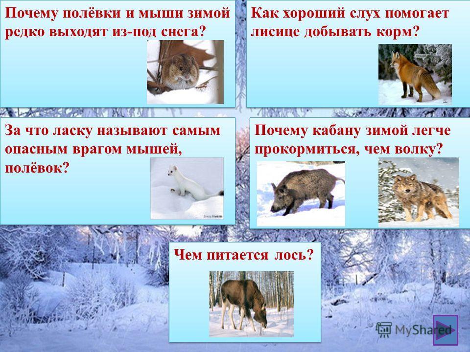 Почему полёвки и мыши зимой редко выходят из-под снега? За что ласку называют самым опасным врагом мышей, полёвок? Как хороший слух помогает лисице добывать корм? Почему кабану зимой легче прокормиться, чем волку? Чем питается лось?
