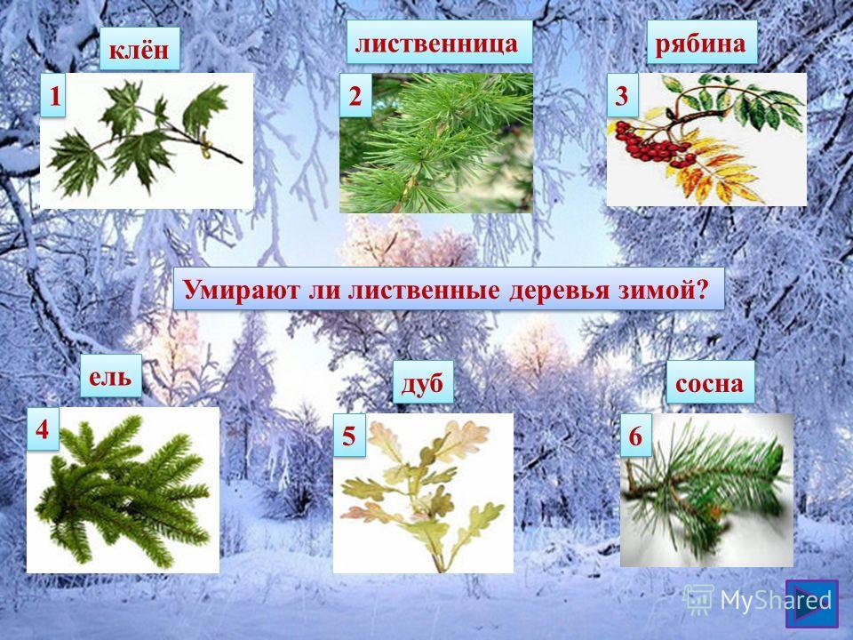 1 1 клён 2 2 лиственница 3 3 рябина 4 4 ель 5 5 дуб сосна 6 6 Умирают ли лиственные деревья зимой?