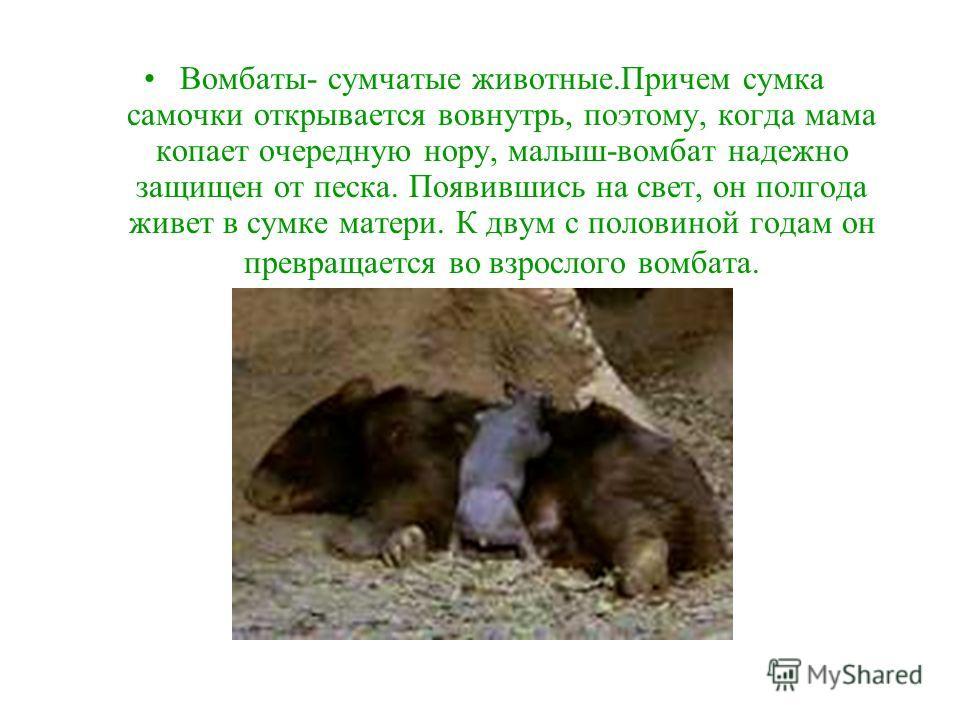 Вомбаты- ночные животные. Днем они обычно спят в своих норах. А вечером и ночью выходят из них в поисках пищи.