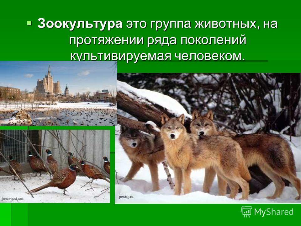 Зоокультура это группа животных, на протяжении ряда поколений культивируемая человеком. Зоокультура это группа животных, на протяжении ряда поколений культивируемая человеком.