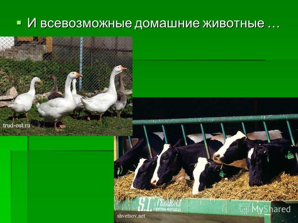 И всевозможные домашние животные … И всевозможные домашние животные …
