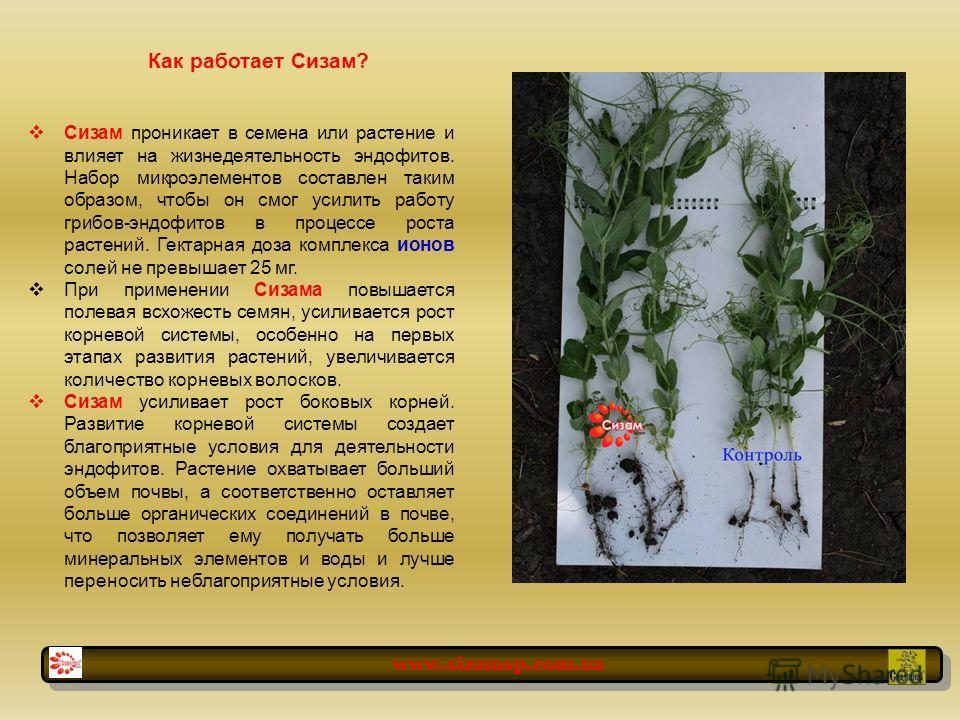 Как работает Сизам? Сизам проникает в семена или растение и влияет на жизнедеятельность эндофитов. Набор микроэлементов составлен таким образом, чтобы он смог усилить работу грибов-эндофитов в процессе роста растений. Гектарная доза комплекса ионов с