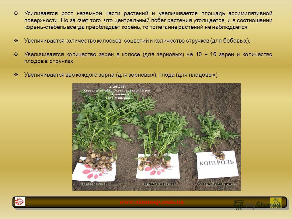 Усиливается рост наземной части растений и увеличивается площадь ассимилятивной поверхности. Но за счет того, что центральный побег растения утолщается, и в соотношении корень-стебель всегда преобладает корень, то полегание растений не наблюдается. У