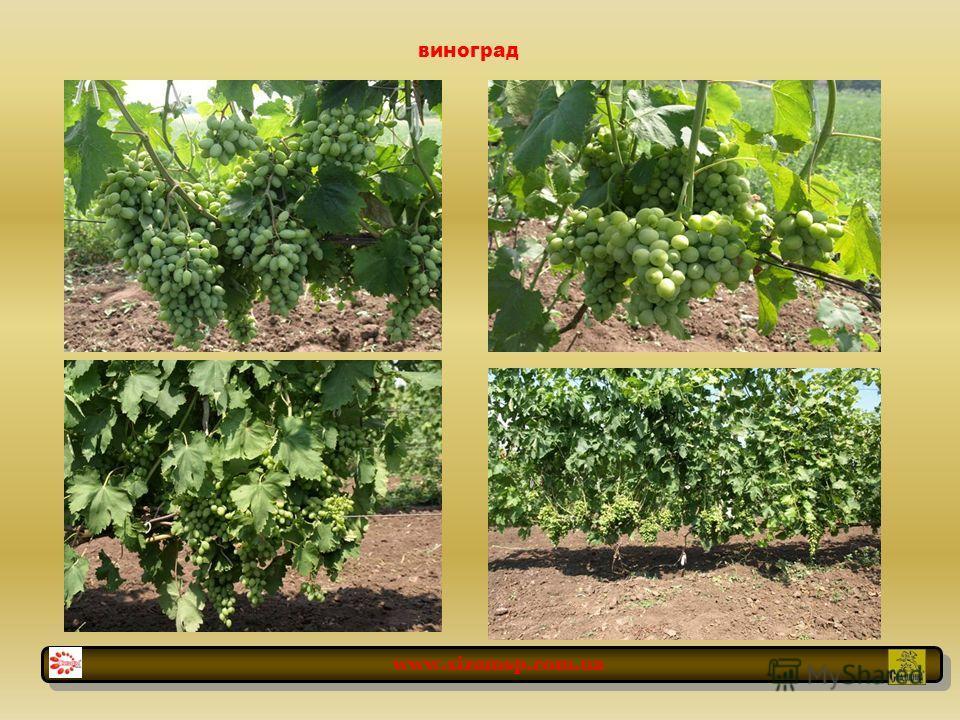 виноград www.sizamsp.com.ua