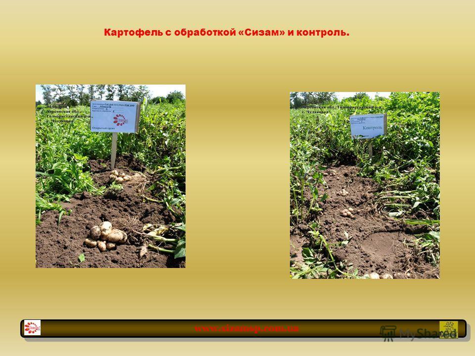 Картофель с обработкой «Сизам» и контроль. www.sizamsp.com.ua