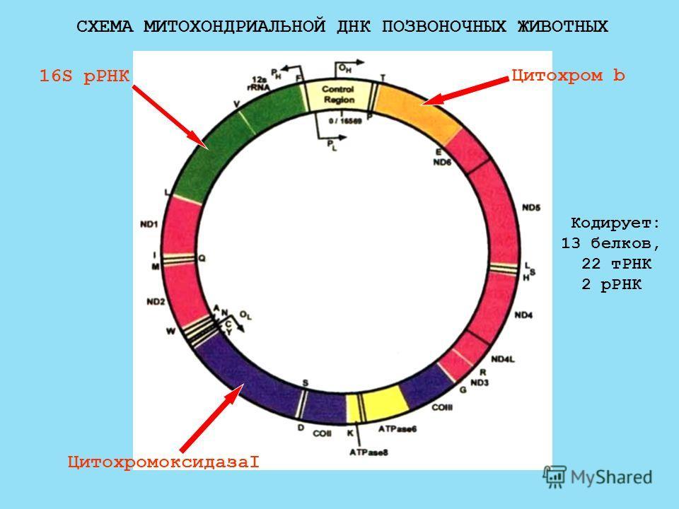 СХЕМА МИТОХОНДРИАЛЬНОЙ ДНК ПОЗВОНОЧНЫХ ЖИВОТНЫХ 16S рРНК ЦитохромоксидазаI Цитохром b Кодирует: 13 белков, 22 тРНК 2 рРНК