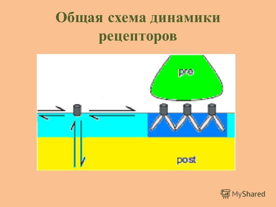 Общая схема динамики рецепторов