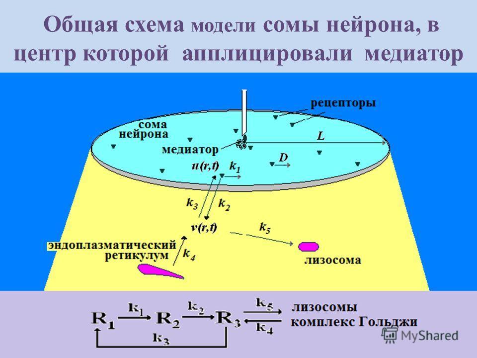 Общая схема модели сомы нейрона, в центр которой апплицировали медиатор