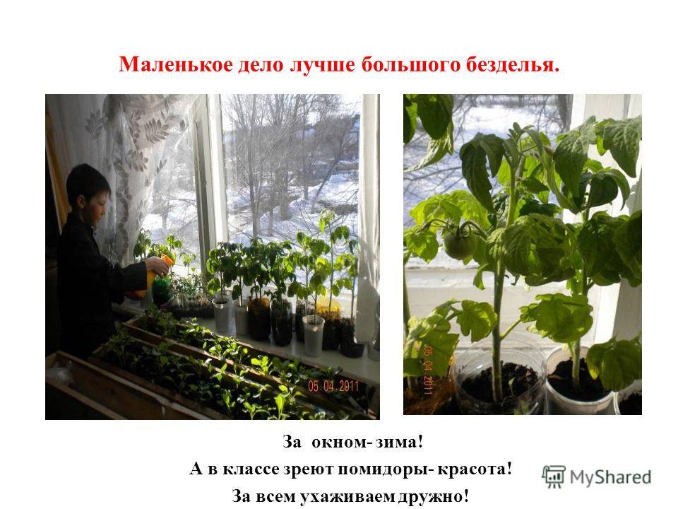 Маленькое дело лучше большого безделья. За окном- зима! А в классе зреют помидоры- красота! За всем ухаживаем дружно!