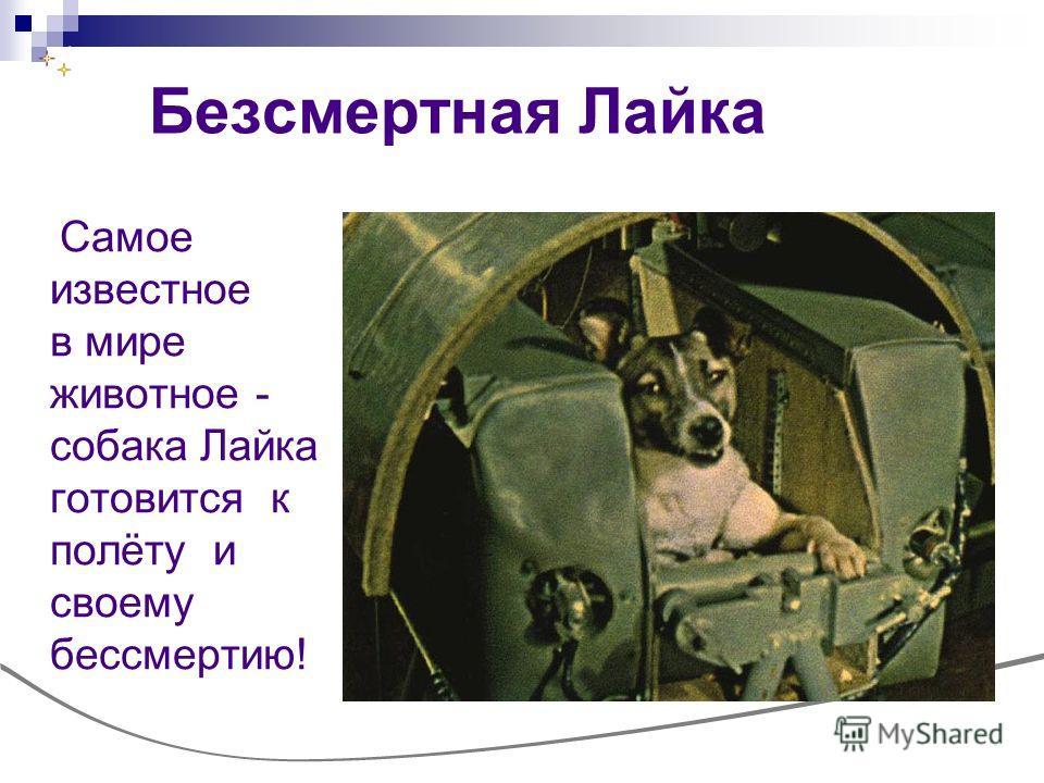 Безсмертная Лайка Самое известное в мире животное - собака Лайка готовится к полёту и своему бессмертию!