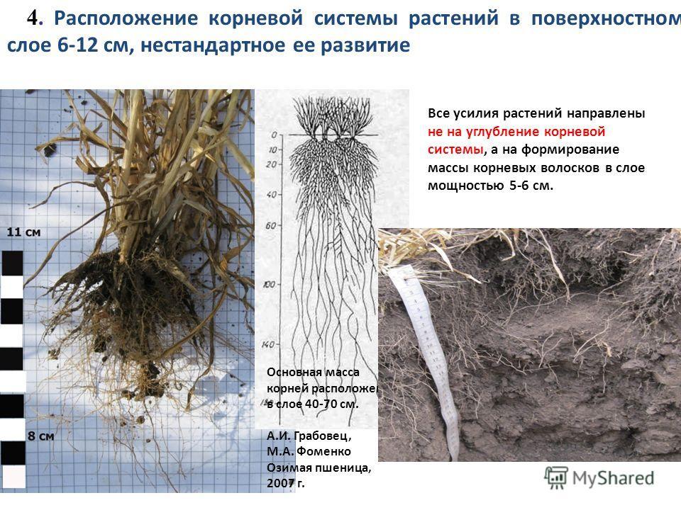 Основная масса корней расположена в слое 40-70 см. А.И. Грабовец, М.А. Фоменко Озимая пшеница, 2007 г. Все усилия растений направлены не на углубление корневой системы, а на формирование массы корневых волосков в слое мощностью 5-6 см. 4. Расположени