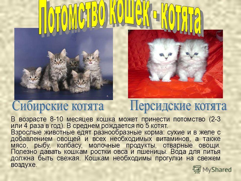 В возрасте 8-10 месяцев кошка может принести потомство (2-3 или 4 раза в год). В среднем рождается по 5 котят. Взрослые животные едят разнообразные корма: сухие и в желе с добавлением овощей и всех необходимых витаминов, а также мясо, рыбу, колбасу,
