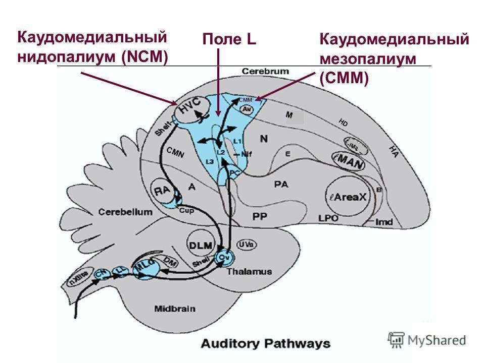 CMM M CMN lMa HA HD Каудомедиальный нидопалиум (NCM) Поле LКаудомедиальный мезопалиум (CMM)