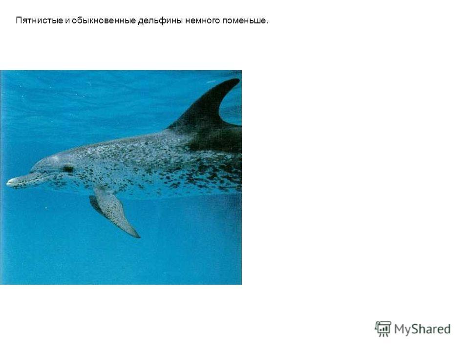Пятнистые и обыкновенные дельфины немного поменьше.
