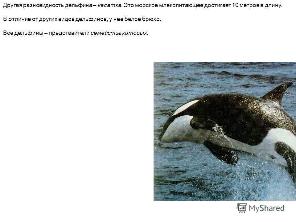 Другая разновидность дельфина – касатка. Это морское млекопитающее достигает 10 метров в длину. В отличие от других видов дельфинов, у нее белое брюхо. Все дельфины – представители семейства китовых. Другая разновидность дельфина – касатка. Это морск