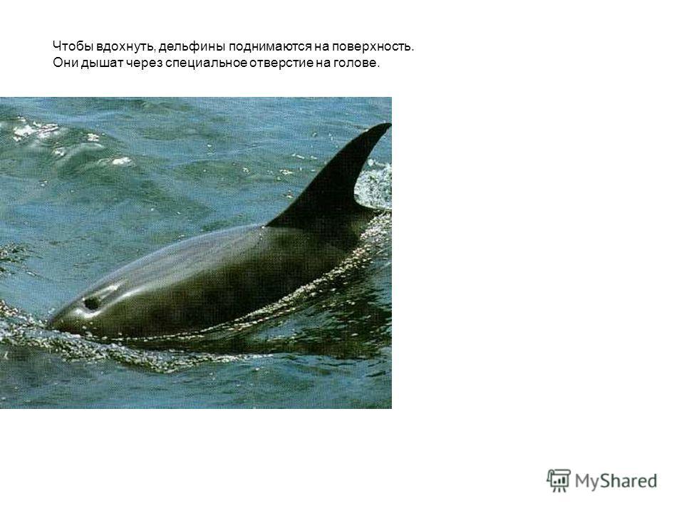 Чтобы вдохнуть, дельфины поднимаются на поверхность. Они дышат через специальное отверстие на голове. Чтобы вдохнуть, дельфины поднимаются на поверхность. Они дышат через специальное отверстие на голове.