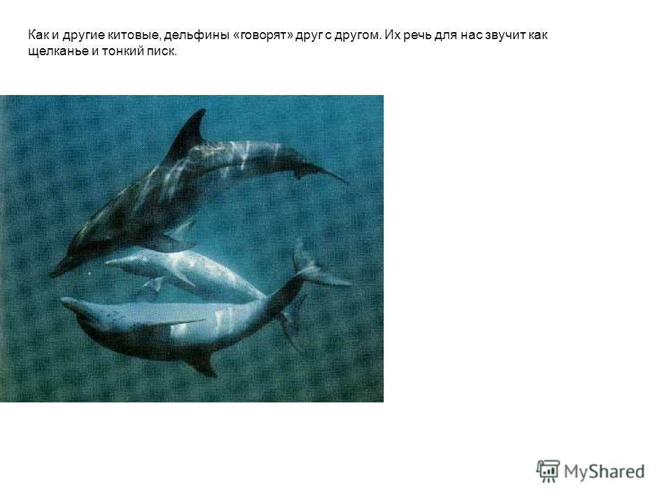 Как и другие китовые, дельфины «говорят» друг с другом. Их речь для нас звучит как щелканье и тонкий писк.