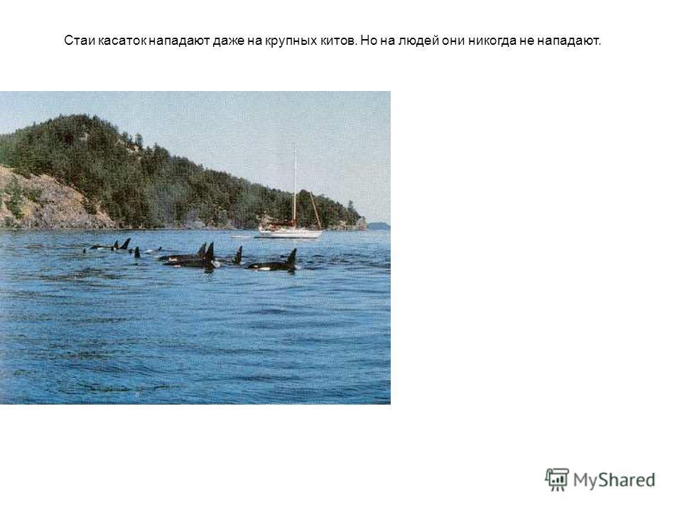 Стаи касаток нападают даже на крупных китов. Но на людей они никогда не нападают.
