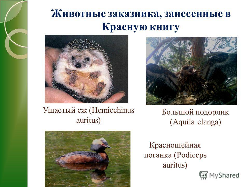 Ушастый еж (Hemiechinus auritus) Большой подорлик (Aquila clanga) Красношейная поганка (Podiceps auritus) Животные заказника, занесенные в Красную книгу
