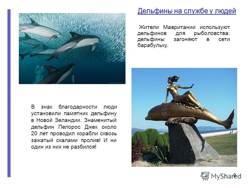 9 Дельфины на службе у людей Жители Мавритании используют дельфинов для рыболовства: дельфины загоняют в сети барабульку. В знак благодарности люди установили памятник дельфину в Новой Зеландии. Знаменитый дельфин Пелорос Джек около 20 лет проводил к