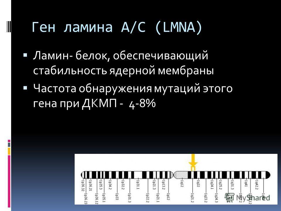 Ген ламина A/C (LMNA) Ламин- белок, обеспечивающий стабильность ядерной мембраны Частота обнаружения мутаций этого гена при ДКМП - 4-8%