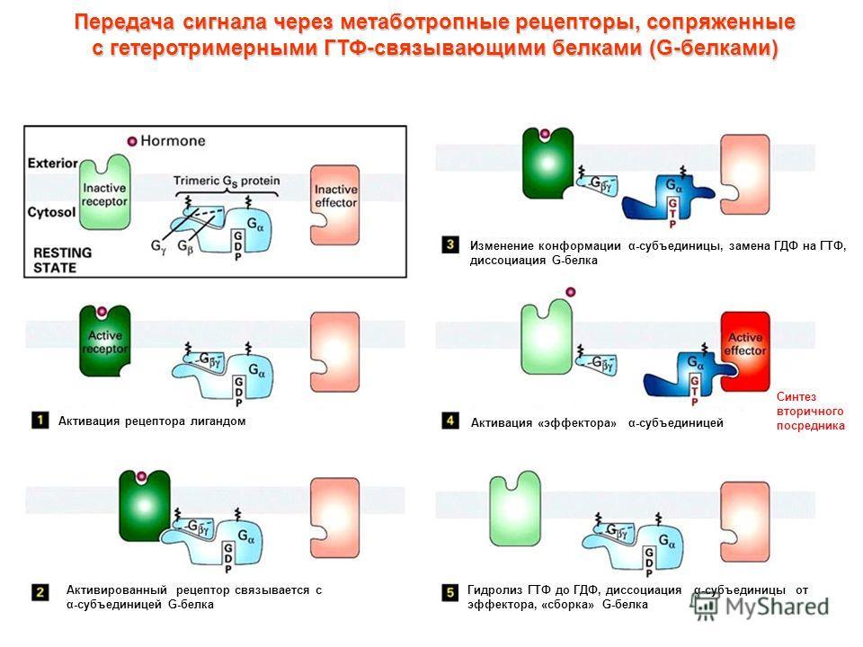 Передача сигнала через метаботропные рецепторы, сопряженные с гетеротримерными ГТФ-связывающими белками (G-белками) Активация рецептора лигандом Активированный рецептор связывается с α-субъединицей G-белка Изменение конформации α-субъединицы, замена