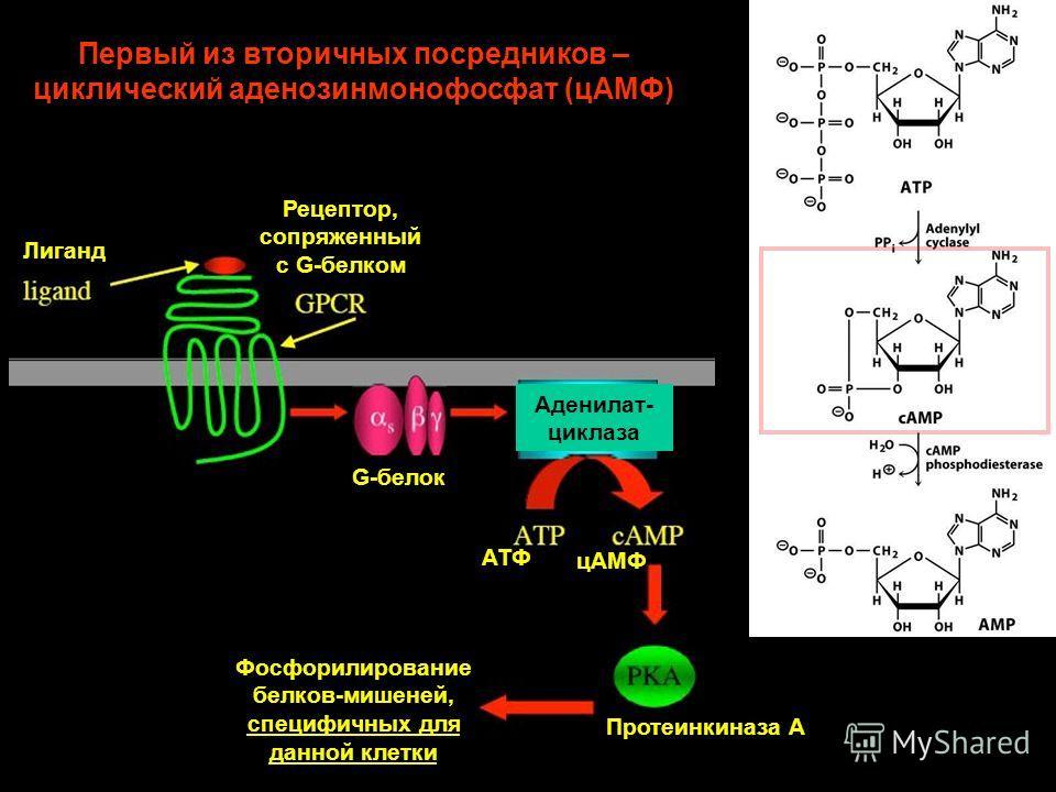 Первый из вторичных посредников – циклический аденозинмонофосфат (цАМФ) Лиганд Рецептор, сопряженный с G-белком Протеинкиназа А Фосфорилирование белков-мишеней, специфичных для данной клетки G-белок Аденилат- циклаза АТФ цАМФ
