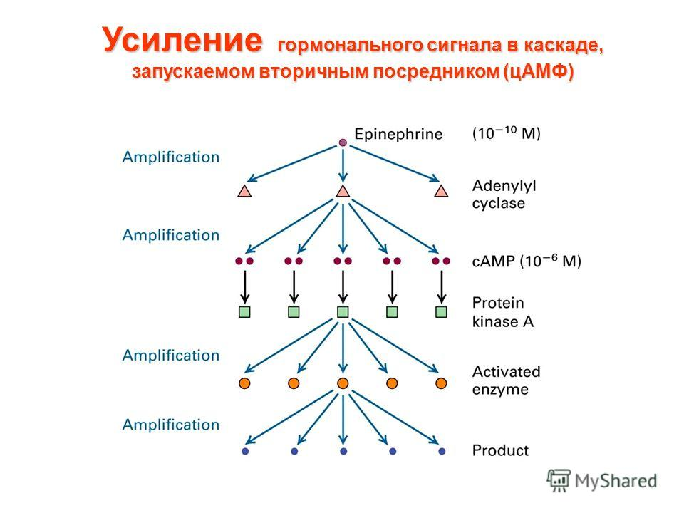 Усиление гормонального сигнала в каскаде, запускаемом вторичным посредником (цАМФ)