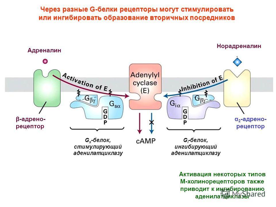 β-адрено- рецептор α 2 -адрено- рецептор Адреналин Норадреналин G s -белок, стимулирующий аденилатциклазу G i -белок, ингибирующий аденилатциклазу Через разные G-белки рецепторы могут стимулировать или ингибировать образование вторичных посредников А