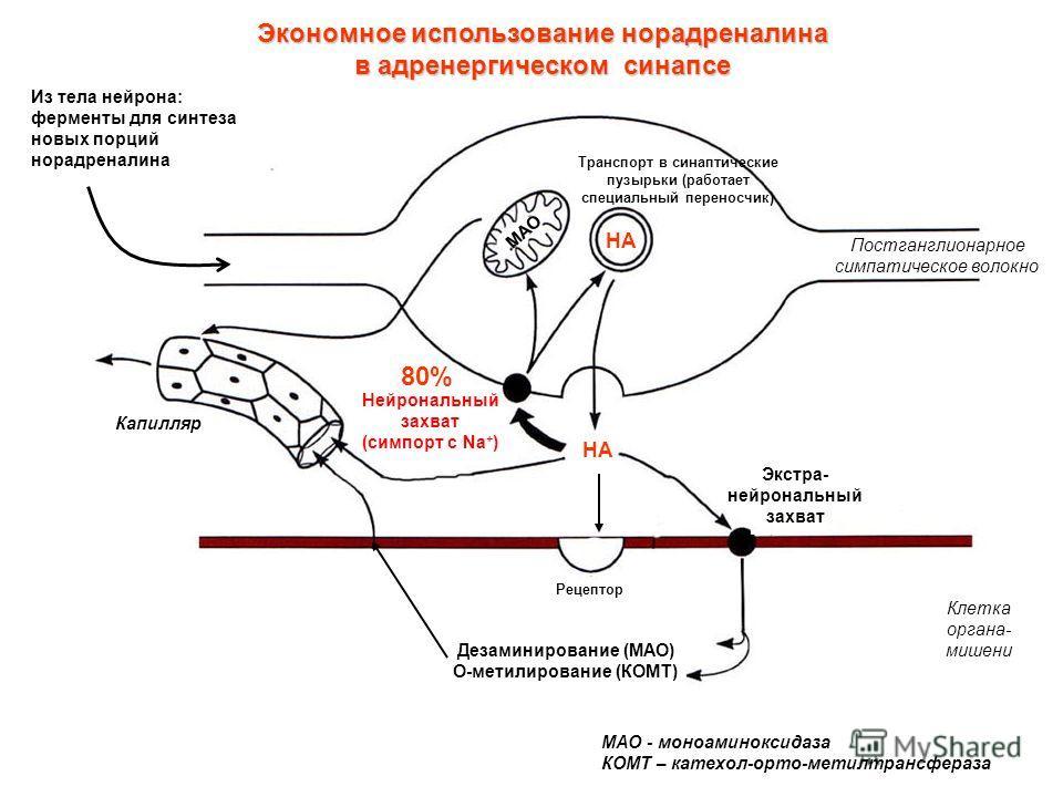 Экономное использование норадреналина в адренергическом синапсе 80% НА Постганглионарное симпатическое волокно Клетка органа- мишени Экстра- нейрональный захват Нейрональный захват (симпорт с Na + ) Капилляр Транспорт в синаптические пузырьки (работа