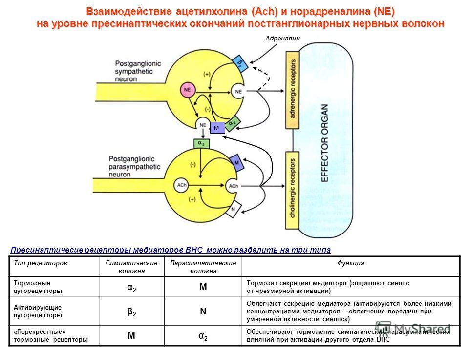 м Взаимодействие ацетилхолина (Ach) и норадреналина (NE) на уровне пресинаптических окончаний постганглионарных нервных волокон Адреналин Пресинаптичесие рецепторы медиаторов ВНС можно разделить на три типа Тип рецепторовСимпатические волокна Парасим