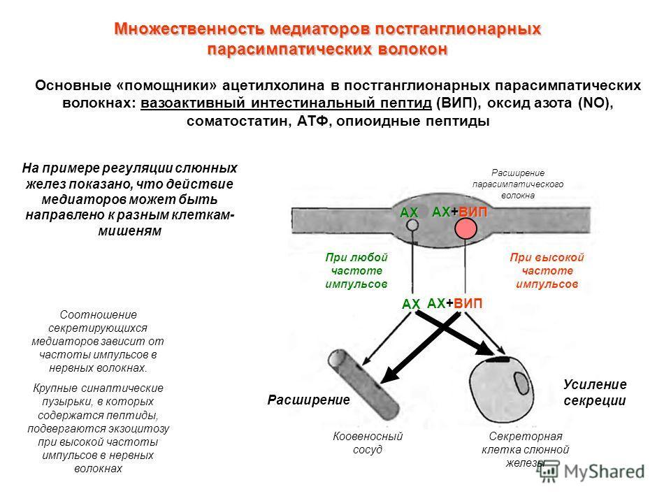 Множественность медиаторов постганглионарных парасимпатических волокон Основные «помощники» ацетилхолина в постганглионарных парасимпатических волокнах: вазоактивный интестинальный пептид (ВИП), оксид азота (NO), соматостатин, АТФ, опиоидные пептиды