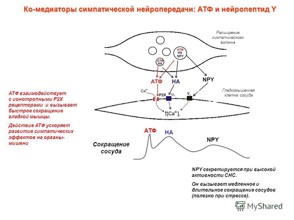 Ко-медиаторы симпатической нейропередачи: АТФ и нейропептид Y АТФ взаимодействует с ионотропными P2X рецепторами и вызывает быстрое сокращение гладкой мышцы. Действие АТФ ускоряет развитие симпатических эффектов на органы- мишени NPY секретируется пр